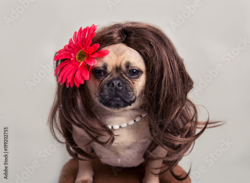 Pug Dog Wearing A Long Haired Wig With A Flower Stock Photo And
