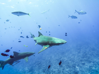 Sharks swimming in Bora Bora Island in French Polynesia during snorkeling on this island paradise and turquoise blue water. Pacific Ocean.