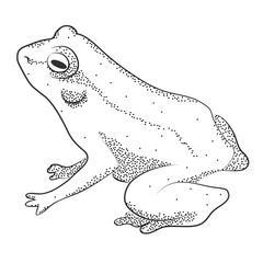 Frog. Black and white sketch image.
