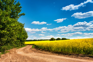 Dirt road in colza flowering field, spring sunny rural scene