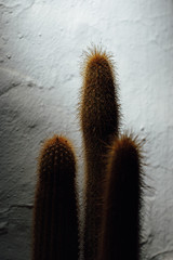 cactus silhouette on white wall background