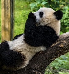 Panda Licking Paw