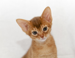 abyssinian kitten, close-up details
