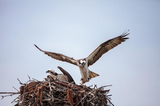 Osprey bird of prey Pandion haliaetus in a nest
