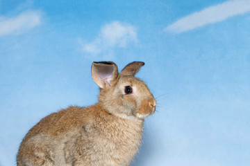 Brown bunny with blue cloudy sky background. A domestic rabbit, more commonly known as a pet rabbit, a bunny, or a bunny rabbit is any of the domesticated varieties of the European rabbit species.