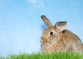 Brown bunny in green grass with blue background. A domestic rabbit, more commonly known as a pet rabbit, a bunny, or a bunny rabbit is any of the domesticated varieties of the European rabbit species.