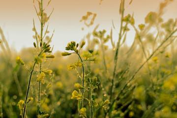 Winter morning - mustard plants field - rural India.