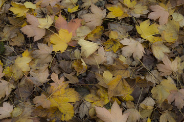 Brown and Golden Orange/Yellow Autumn Maple Leafs on Ground