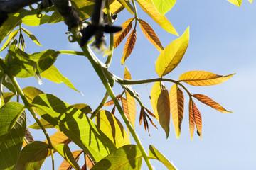 green and purple walnut leaves