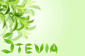 fresh green Stevia rebaudiana leaves  with text copy space