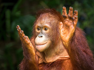 Young orangutan clapping delight in the natural environment of the zoo. Fotomurales