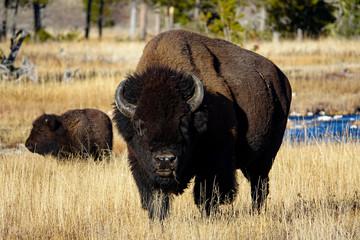 Canvas Prints Bison Leader of the Herd
