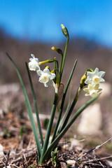 Papiers peints Narcisse narcisse sauvage