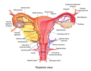 Uterus medical poster with female reproductive system scheme on white background