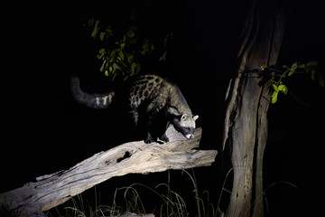 African civet, Civettictis civetta, night photo of wild, largest civet. Nocturnal animal. African wildlife photography, self drive safari in Moremi national park, Botswana.