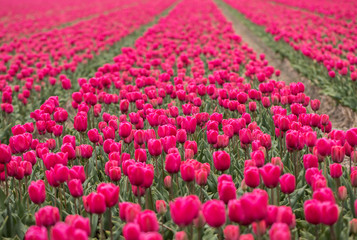 Red Tulips fields of the Bollenstreek, South Holland, Netherlands