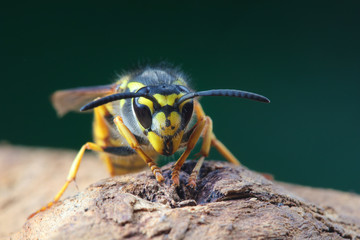 Portrait of dangerous and  poisonous Vespula germanica wasp