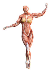 3D Rendering Female Anatomy Figure on White