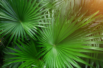 Wall Mural - close up green Tropical big palm leaves with sunlight in exotic country Thailand Landscape Holiday . concept of foreign background, summer plants or nature and travel