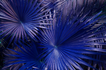 Wall Mural - close up blue Tropical big palm leaves in exotic country. concept of foreign background, summer plants or nature and travel