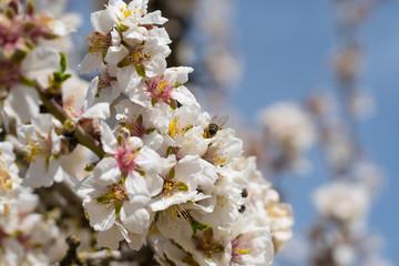 Abeja hundida en flor de almendro