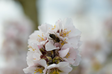 Abeja en flor de almendro polinizando
