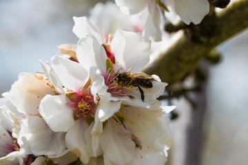 Abeja trabajando en flor de almendro