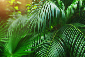 Fotomurales - green Tropical big palm leaves with sunlight in exotic country Thailand Phuket Landscape Holiday . concept of wallpaper background, summer plants or nature and travel