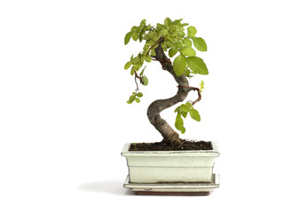miniature bonsai tree Chinese elm isolated on a white background.