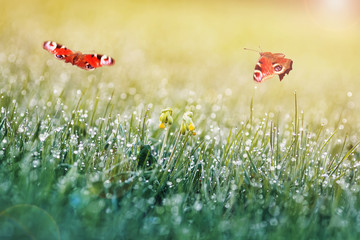two peacock butterflies fluttering over a spring meadow with grass and flowers covered with dew drops on a Sunny morning
