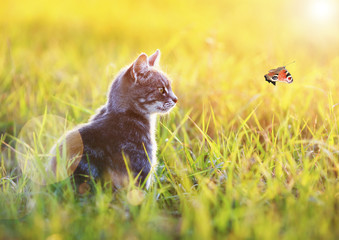 beautiful cat sits in the green grass on a Sunny meadow in the summer and looking at flying to the sun the butterfly