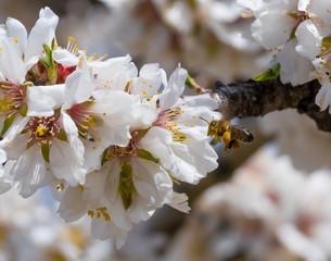 Abeja polinizando flores de almdendros