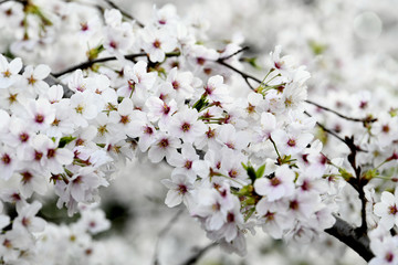 日本の東京都市風景 桜のイメージ (千鳥ヶ淵)