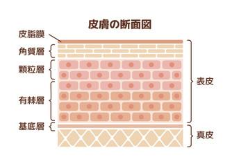 人体皮膚の断面図イラスト (文字あり)