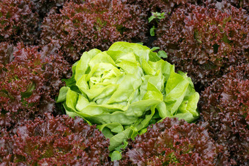 Picture perfect green lettuce head surrounded by red lettuce. Agriculture industry, fresh produce, mass production and commercial trade concept and textured background.