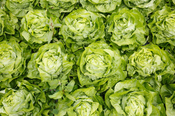 Picture perfect field filled with lettuce heads. Agriculture industry, fresh produce, mass production and commercial trade concept and textured background.