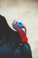 Turkey with colorful head