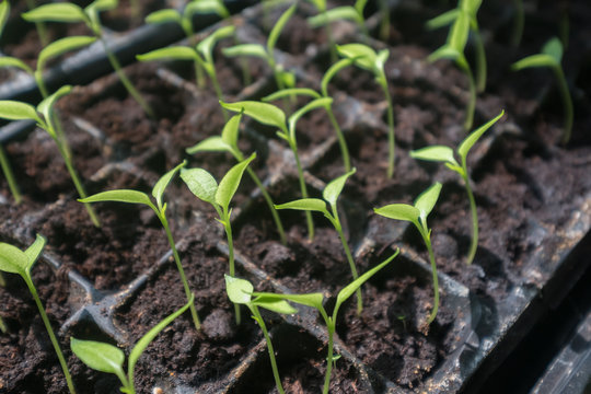 selective Close-up of green seedling.Green salad growing from seed
