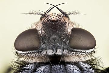 Common Blue Bottle Fly, Bluebottle Fly, Flies