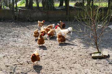 Hahn mit Hühnern im Auslauf, Landleben, Hühnerhaltung, Selbstversorger, Hinterhof