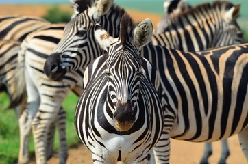 Zebra in a south african reserve
