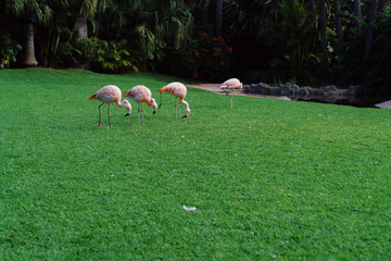 Group of pink flamingos among green trees. Animal world