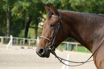 Profil d'un cheval brun