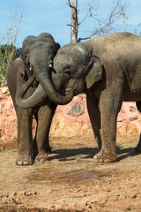 Two elephants hug each other with their trunks.