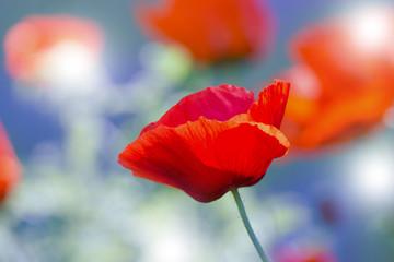 Foto auf Leinwand Mohn Red poppy on green weeds field. Poppy flowers.Close up poppy head. red poppy.