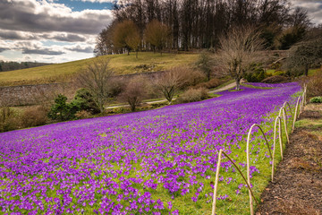 Lawn of Purple Crocuses / An early springtime scene of purple crocuses carpeting a lawned area in Northumberland