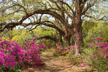 Pathway through beautiful blooming park. Azaleas flowers blooming under the tree on a spring morning. Magnolia Plantation and Gardens, Charleston, South Carolina, USA.