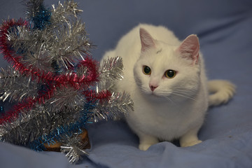 white albino cat on a blue background