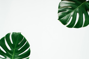 Two green monstera tropical leaves frame on white background. Empty space for copy, text, lettering.