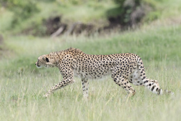 Cheetah (Acinonix jubatus) hunting on savanna, Masai Mara, Kenya